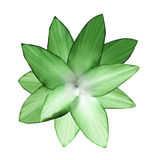 Green-white flower.  White isolated background with clipping path.   Closeup.  no shadows.  For design. Nature Royalty Free Stock Photography