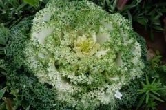Green White Flowering Kale borecole Brassica olera Stock Image