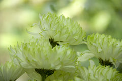 Green and white flowers petals  Stock Images