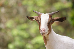 Green white goat Stock Photo