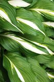 Green and white hosta leaves Royalty Free Stock Photos