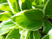 Green and white hosta Stock Image