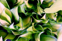 Green and White Hosta Leaves Royalty Free Stock Image