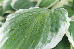 Green and white hosta plant Royalty Free Stock Image
