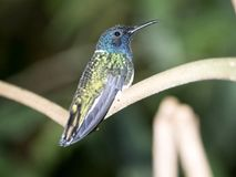 A green and white hummingbird,Andean Emerald, perching on a leafy branch in Mindo,in the Andes mountains of Ecuador. Green and white hummingbird,Andean Emerald stock photography