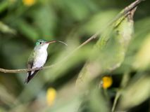 A green and white hummingbird,Andean Emerald, perching on a leafy branch in Mindo,in the Andes mountains of Ecuador. Green and white hummingbird,Andean Emerald royalty free stock photos