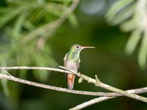 A green and white hummingbird, Andean Emerald, perching on a leafy branch in Mindo, in the Andes mountains of Ecuador. Green and white hummingbird, Andean stock photos