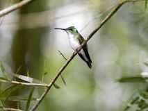 A green and white hummingbird,Andean Emerald, perching on a leafy branch in Mindo,in the Andes mountains of Ecuador. Green and white hummingbird,Andean Emerald stock photos