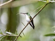 A green and white hummingbird,Andean Emerald, perching on a leafy branch in Mindo,in the Andes mountains of Ecuador. Green and white hummingbird,Andean Emerald royalty free stock photo