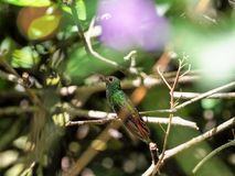 A green and white hummingbird,Andean Emerald, perching on a leafy branch in Mindo,in the Andes mountains of Ecuador. Green and white hummingbird,Andean Emerald stock image