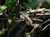 A green and white hummingbird,Andean Emerald, perching on a leafy branch in Mindo,in the Andes mountains of Ecuador. Green and white hummingbird,Andean Emerald royalty free stock images