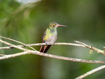 A green and white hummingbird,Andean Emerald, perching on a leafy branch in Mindo,in the Andes mountains of Ecuador. Green and white hummingbird,Andean Emerald stock images