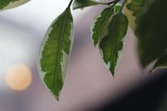 Green and white leaves blurred background royalty free stock photos