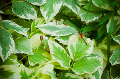 Green and white leaves. Dragonfly sitting on green leafe Stock Photography