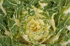 Green and white leaves of ornamental cabbage Stock Photography
