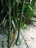 Green and white. leaves and snow. bamboo tree. Winter details. frozen leaves , and snow. green and white. perfect snowflakes. bamboo tree Stock Images
