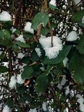 Green and white. leaves and snow Royalty Free Stock Photos