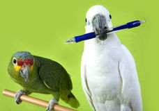 Green and white parrots. Two parrots sitting, holding pen royalty free stock photo