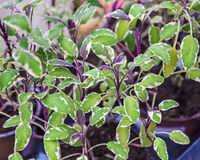 Green, white and purple variegated culinary sage in the herb garden Stock Image