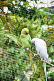 Green and white Rose ringed parakeet Psittacula krameri. Bird Stock Photo