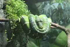Green and White Snake on Branch Stock Photos