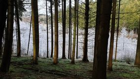Green and white trees in the Belgian Ardennes. Green and white trees during winter in the Belgian Ardennes royalty free stock photography