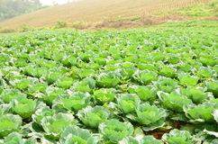 Green wide cabbage garden. Young cabbages farm on the mountain Royalty Free Stock Photography