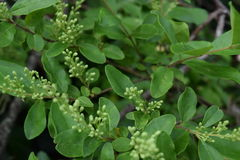Green wild bush plant NC. Budding stock photo