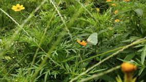 Green wild butterflies perched on orange flowers stock images