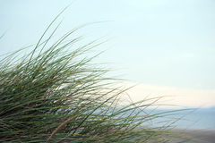 Green wild dune grass in beal kerry Royalty Free Stock Images
