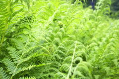 Green wild fern in forest Royalty Free Stock Image