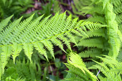 Green wild fern in forest Stock Images