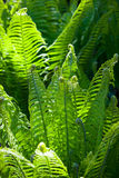 Green wild fern leaves grown in a shady woodland Stock Images