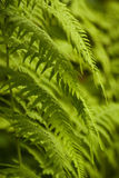Green wild fern Stock Photography