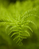 Green wild fern Royalty Free Stock Photos