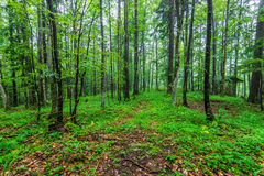 Green wild forest Stock Photography