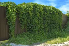 Green wild grapes cover the brown fence. Stock Photography