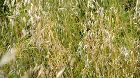 Green wild grass in the field or meadow swing on light wind. Nature background, selective focus. stock video