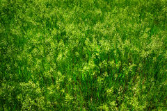 Green Wild Grass Wees Growing Stock Images