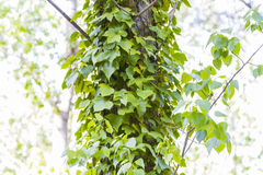 Green wild ivy Stock Image