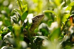 Green wild lizard hidden among the bush leafs. Little reptile closeup view. A macrophotography of small wild reptile animal sitting between tree leafs Stock Photos