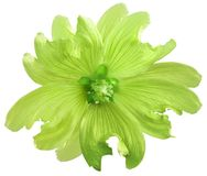 Green wild mallow flower on a white isolated background with clipping path. Closeup. Element of design. Nature Royalty Free Stock Photo
