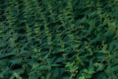 Green wild nettle weeds. Repetition royalty free stock image