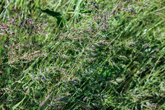 Green wild oats background. Rustic field plants Stock Photos