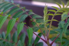 Green Wild Outdoor Plant with Purple Stems. A light green outdoor plant with purple stems growing along a brown metal railing next to a walkway in a park stock photos