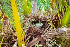 Green wild parrot building a nest on the palm tree, Barcelona Royalty Free Stock Images