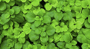 Green wild plant background Stock Photo