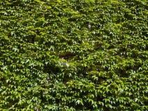 Green wild vine- partenocissus tricuspidata Royalty Free Stock Images