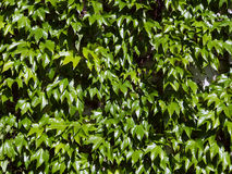 Green wild vine- partenocissus tricuspidata Stock Photo