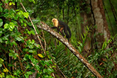 Green wildlife of Costa Rica. Black monkey White-headed Capuchin sitting on the tree branch in the dark tropic forest. Cebus capuc Stock Image